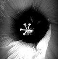 Dark Flower by Tina Meador