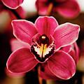 Deep Cut Orchid Society 15th Annual Orchid Show by Dan Pfeffer