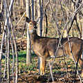 Deer Early Spring by David Arment