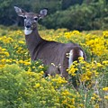 Deer In A Field Of Yellow Flowers by Steven Natanson