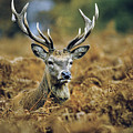 Deer Rests In Bracken by Steve Somerville
