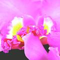 Delicate In Pink by Susanne Van Hulst