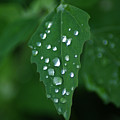 Dew Drops by Terry Hoss