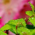 Dewdrops And Pastels by Lisa Jayne Konopka