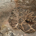 Diamondback Rattlesnake by Warren Thompson