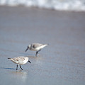 Dinner Time Sandpipers Feeding Delray Beach Florida by Michelle Constantine