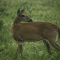 Doe In Morning Dew by Christina Durity