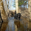 Dog Wading In Swollen River by Kent Lorentzen
