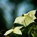 Dogwood Flowers In Streaming Blue Light by Robin Frazier