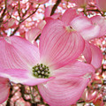 Dogwood Tree 1 Pink Dogwood Flowers Artwork Art Prints Canvas Framed Cards by Baslee Troutman