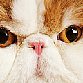 Domestic Persian Cat Against White Background. by Martin Harvey
