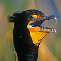 Double-crested Cormorant by John Harmon