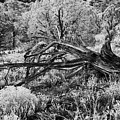 Downed Cypress Sedona Arizona Number Five by Bob Coates