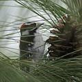 Downy Woodpecker by Ben Upham III