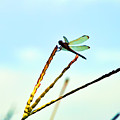 Dragon Fly by Bill Cannon