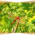 Dragon Fly by Judy  Waller