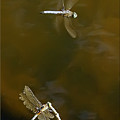 Dragonflies by Brian Wallace