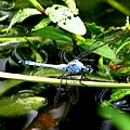Dragonfly 9 by J M Farris Photography