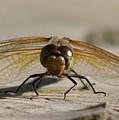 Dragonfly by Lori DeBruijn
