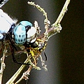 Dragonfly With Yellowjacket 2 by J M Farris Photography