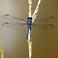Dragonfly2 by Tali Stone