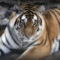 Dreamy Tiger by Sandy Keeton