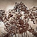Dried Hydrangeas by  Onyonet  Photo Studios
