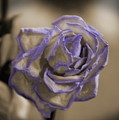 Dried Rose In Sienna And Ultra Violet by Colleen Cornelius