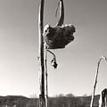 Dried Sunflower Closeup by Heather Kirk