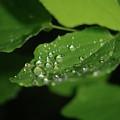 Droplets On A Leaf  by Jeff Swan