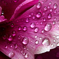 Droplets On Peony 1 by Robert Morin