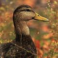 Duck In Autumn by Karol Livote