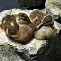 Duck Love by Tessa Hunt-Woodland