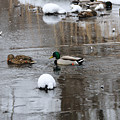 Ducks In Winter by David Arment