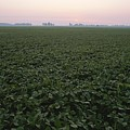 Early Morning Mist Over Soybean Fields by Brian Gordon Green