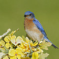 Eastern Bluebird by Philippe Francis