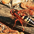 Eastern Cicada Killer Wasp by Terri Mills