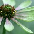 Echinacea - Green Envy by Betsy LaMere