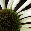 Echinacea by Priscilla Richardson