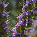 Echium Valley by Jean Booth