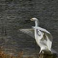 Egret Dance by Deborah Benoit