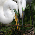 Egret Pair by Steve Leach