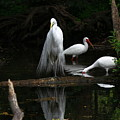 Egret Reflection by Barbara Bowen