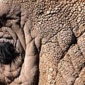 Elephant Eye Closeup  by John Harmon