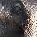 Elephant by Jane Rix