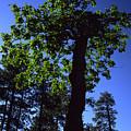 Emerald Oak by Randy Oberg