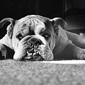 English Bulldog by M E Browning and Photo Researchers