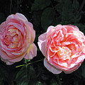 English Rose Pink Abraham Darby  by Robyn Stacey