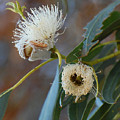 Eucalyptus Bloom by Jean Booth