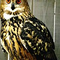 Eurasian Eagle-owl With Oil Painting Effect by Rose Santuci-Sofranko